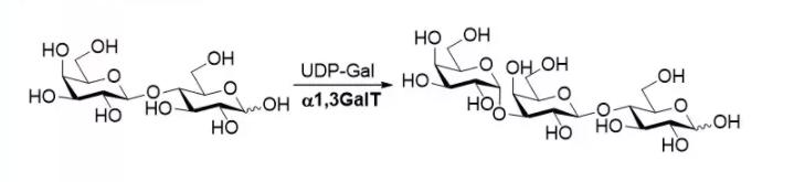 α1,3-半乳糖基转移酶 CAS 62213-42-7 EC 2.4.1.87