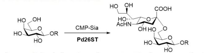 α2 6-唾液酸转移酶 CAS 9075-81-4 EC 2.4.99.1