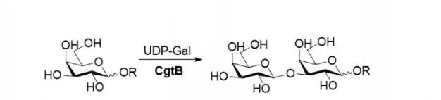 β1,3-半乳糖基转移酶 CAS 37217-28-0 EC 2.4.1.62