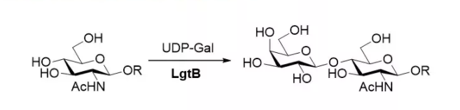 β1,4-半乳糖基转移酶 CAS 9054-94-8 EC 2.4.1.90