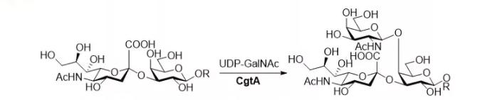 β1,4-N-乙酰半乳糖胺基转移酶 CAS 67338-98-1 EC 2.4.1.92