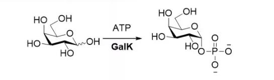 半乳糖激酶 CAS 9030-53-9 EC 2.7.1.6