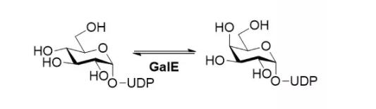 尿苷二磷酸葡萄糖 4-表异构酶; CAS 9032-89-7 EC 5.1.3.2