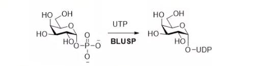 尿苷二磷酸-糖焦磷酸化酶 CAS UENA-0191 EC 2.7.7.64