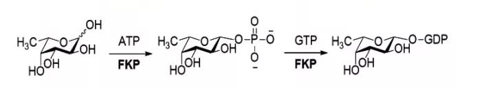 L-岩藻糖激酶 GDP-岩藻焦糖磷酸化酶 CAS 37278-00-5 EC 2.7.1.52(2.7.7.30)