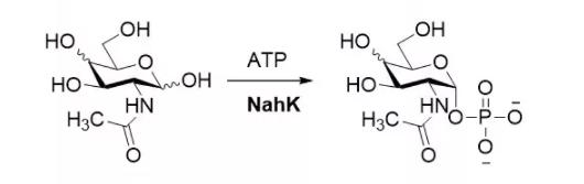 N-乙酰己糖胺激酶 CAS UENA-0190 EC 2.7.1.162