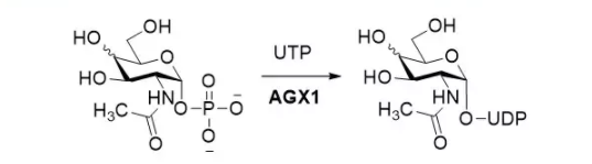 N-乙酰氨基葡糖-1-嘌呤基转移酶 CAS UENA-0192 EC 2.3.1.157