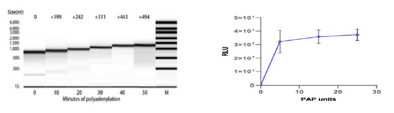 Poly (A)聚合酶 CAS 9026-30-6 产品特点