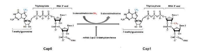 mRNA 2'-O-甲基转移酶 CAS 61970-02-3 产品特点